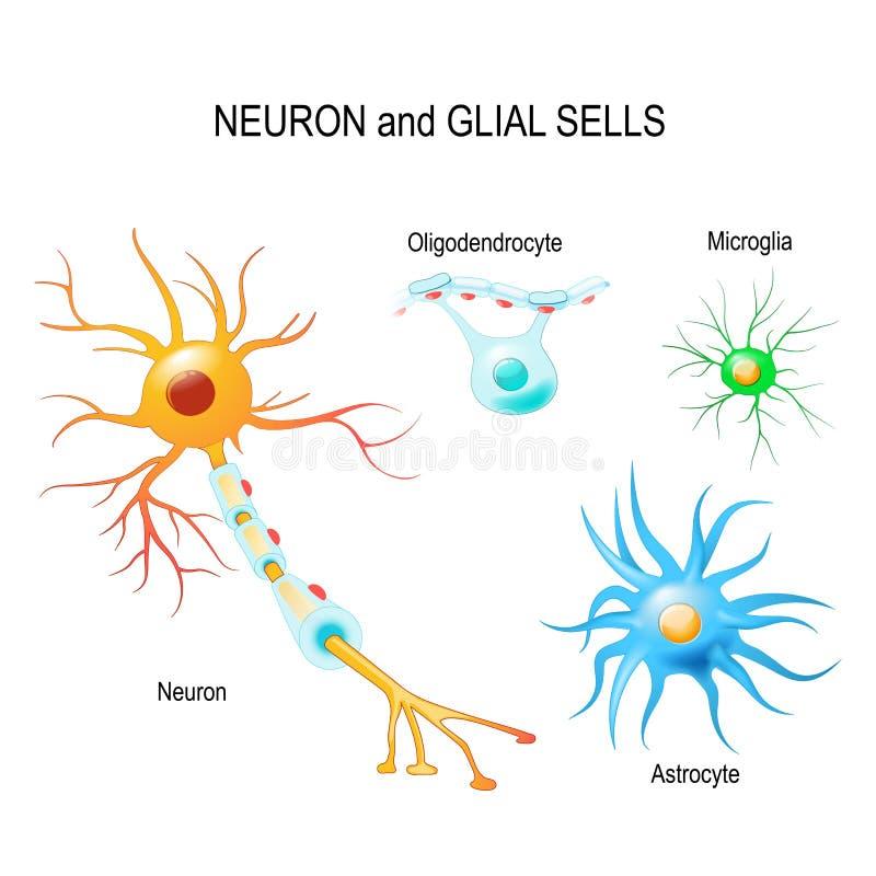 Cellen van de menselijke hersenen van ` s Neuron en glial cellen Microglia, astro vector illustratie