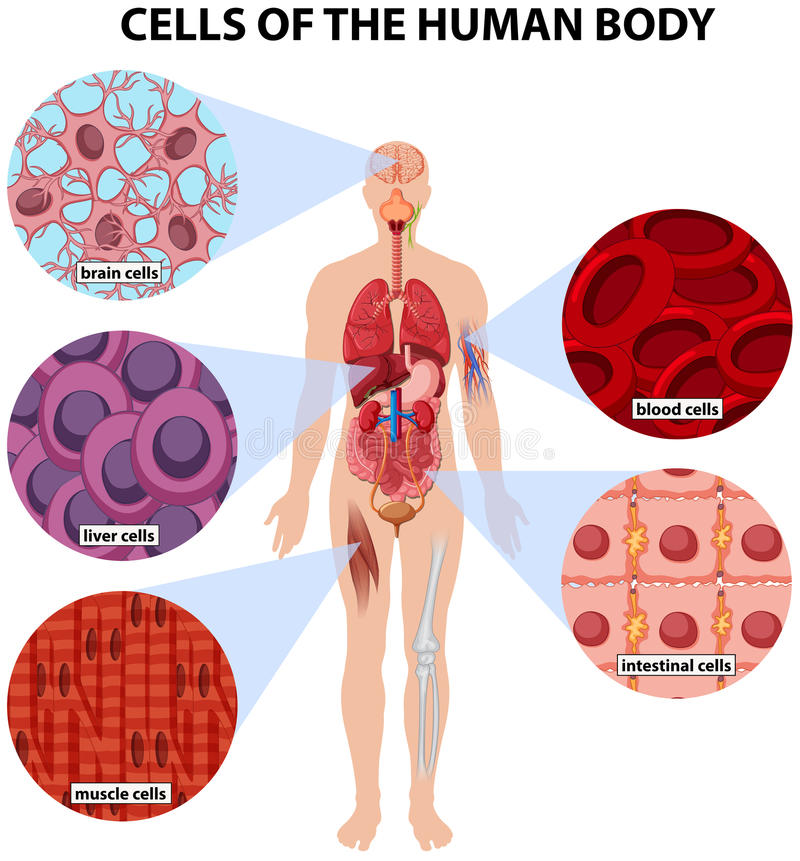 Cellen van het menselijke lichaam royalty-vrije illustratie