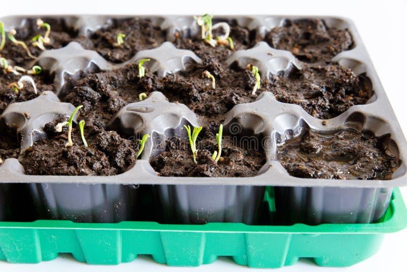 Cellen voor zaailingen thuis Het kweken van installaties op de vensterbank Het concept tuinbouwontwikkeling royalty-vrije stock fotografie