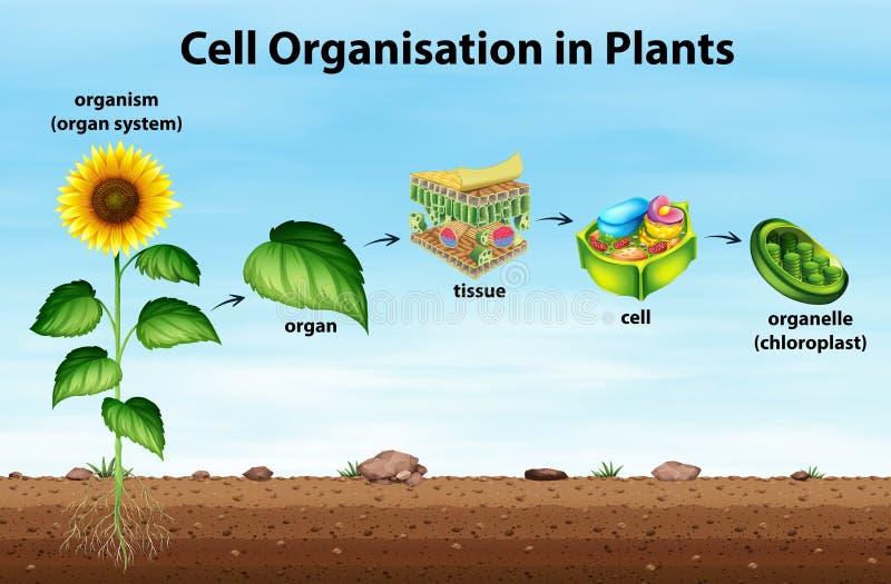 Cellorganisation i växter royaltyfri illustrationer