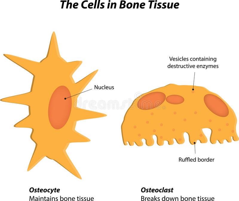 The Cells in Bone Tissue royalty free illustration