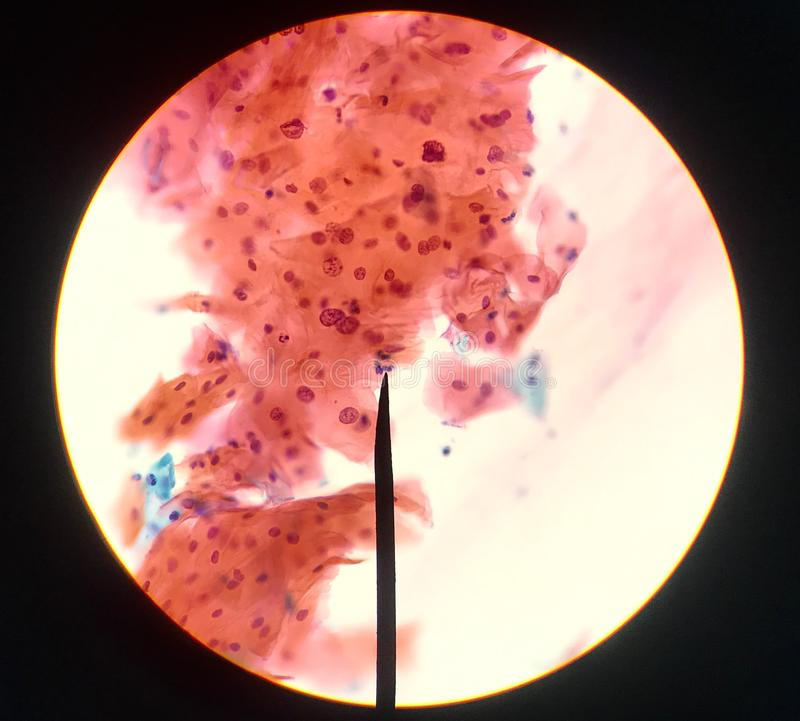 Cells in reproductive female cytology and histology concept stock image