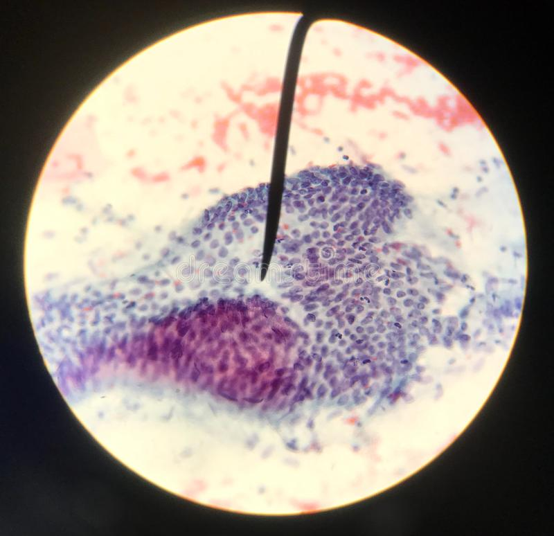 Cells in reproductive female cytology and histology concept stock photo
