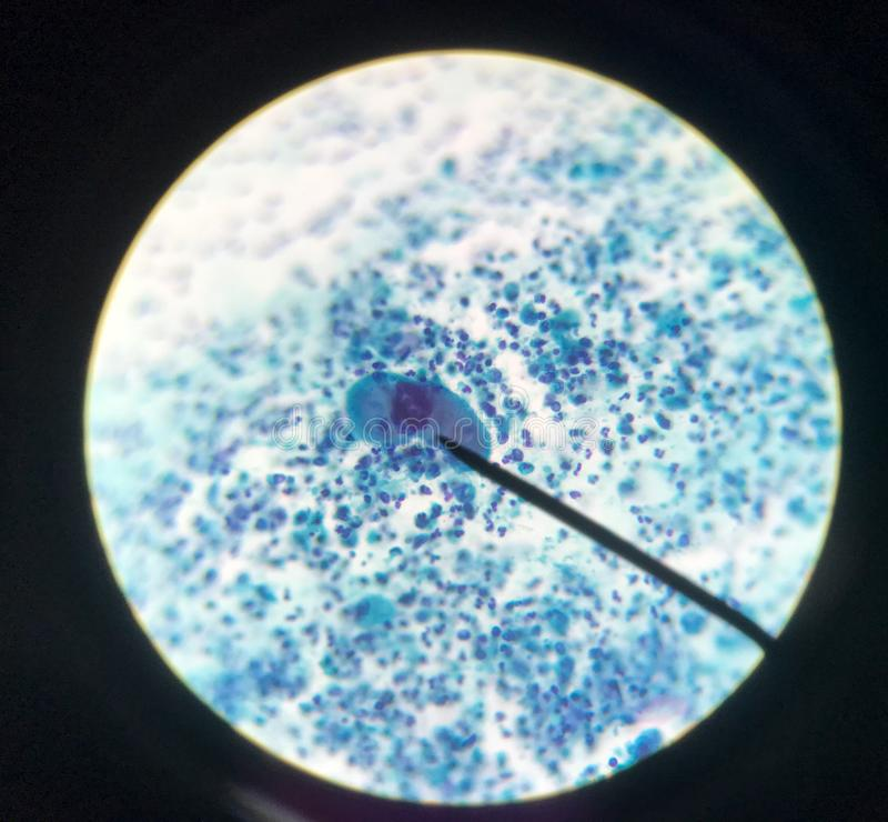 Cells in reproductive female cytology and histology concept stock photography
