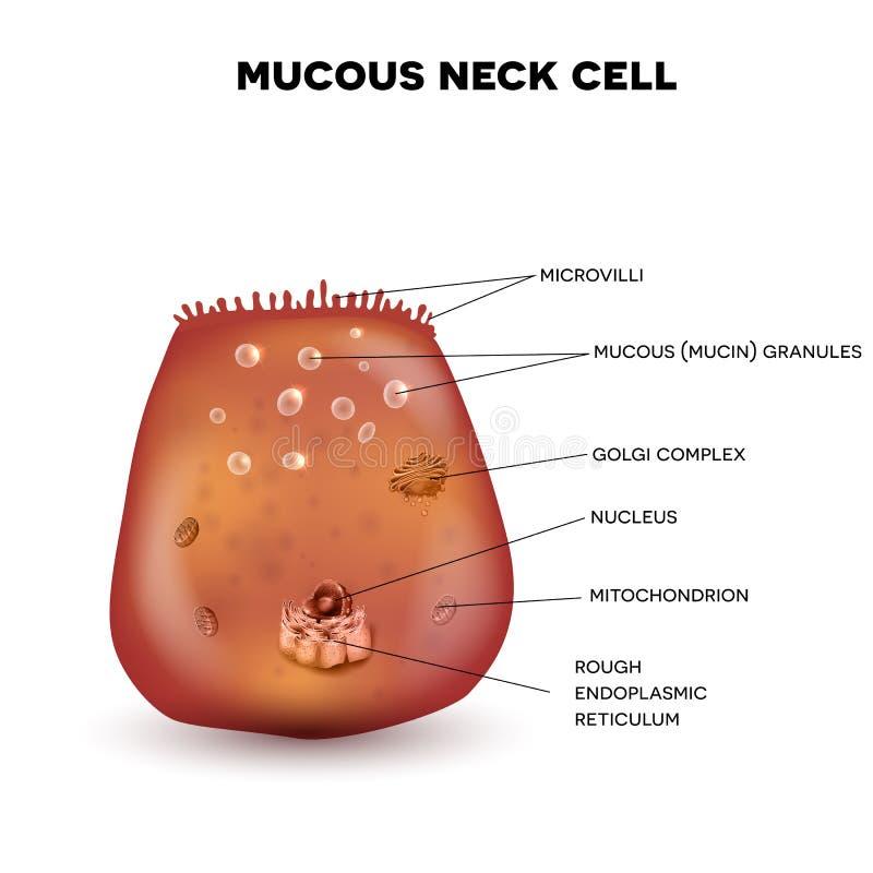 Cellula mucosa del collo illustrazione vettoriale