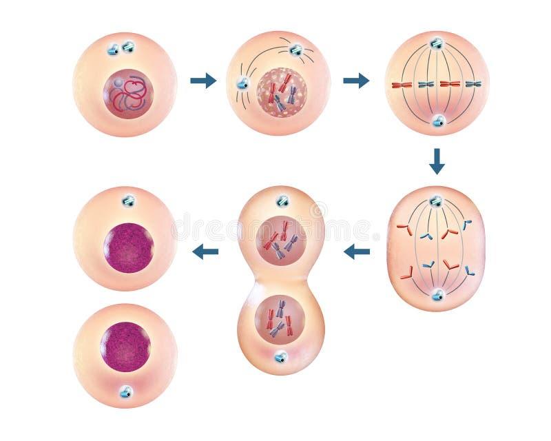 Cellular mitosis. Various steps of cellular division. 3D illustration royalty free illustration