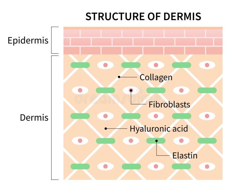 Cellule della struttura dell'illustrazione del derma isolate su fondo bianco Pelle e concetto di sanità illustrazione di stock
