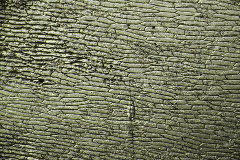 Cellules d'oignon - image microscopique photos stock