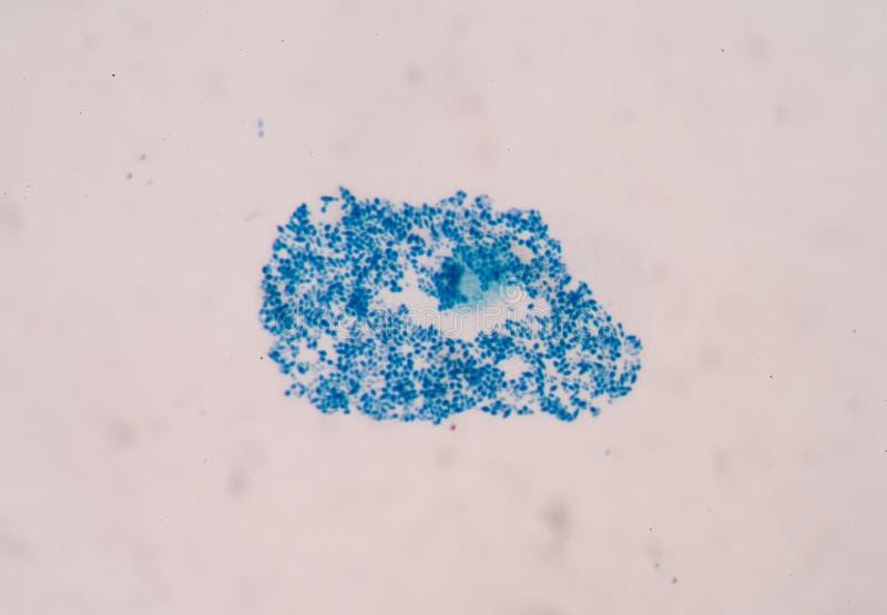 Cellules de bactéries photographie stock
