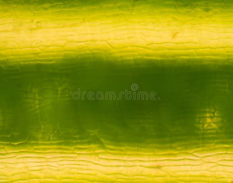 Cellules de centrale sous le microscope photos libres de droits