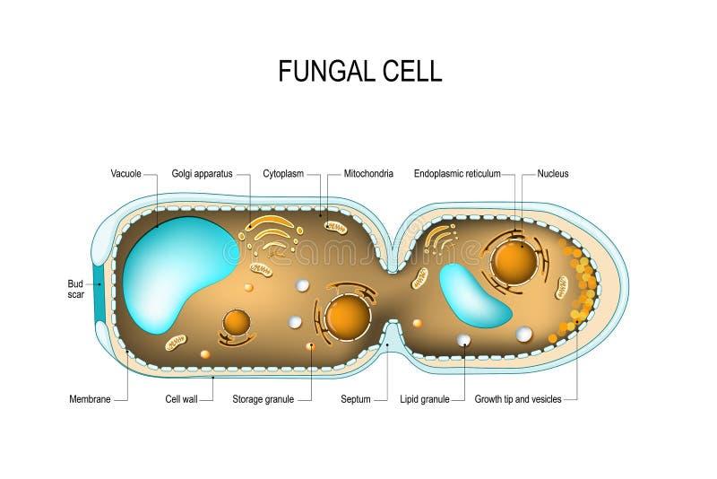 Cellules fongiques de hyphae illustration de vecteur