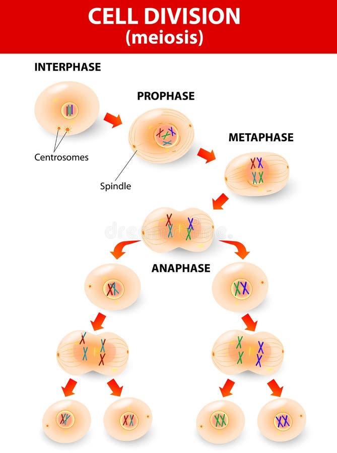 Celluppdelning. meiosis. Vektorintrig royaltyfri illustrationer