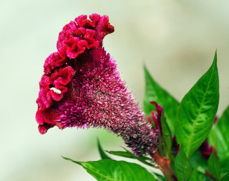 Celosia Argentea f Cristata imagem de stock