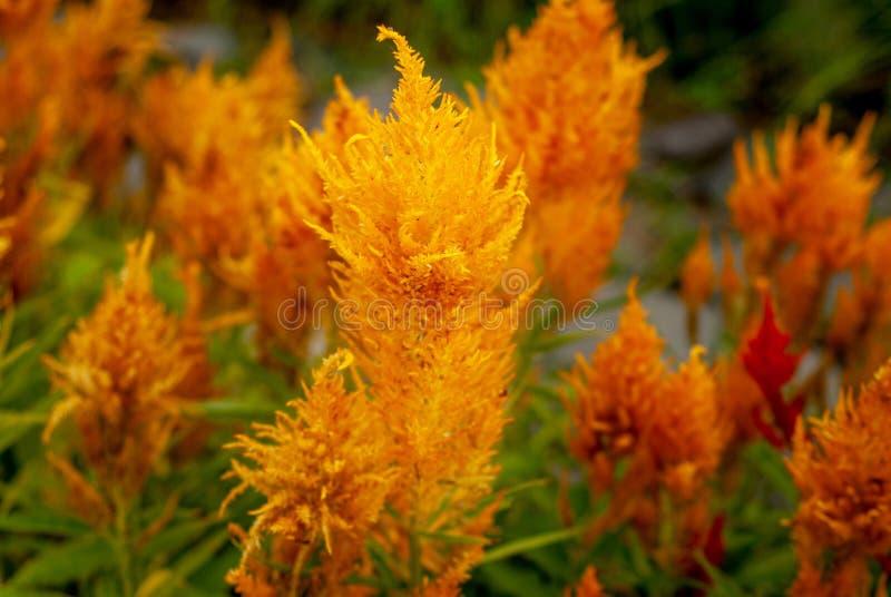 Beautiful yellow celosia flower plantation stock photos