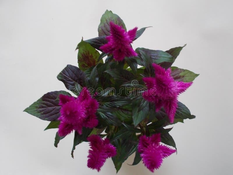 Celosia Caricus, purpurrote Anlage stockbild