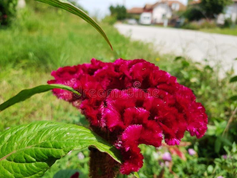 ` Celosia cristata ` Blume mit erstaunlicher Farbe lizenzfreies stockfoto