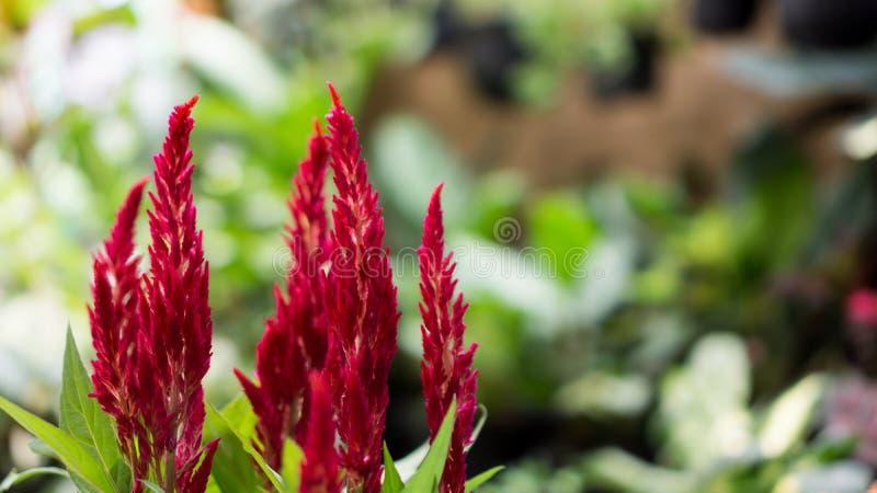Celosia die rote Samt-Blume stockbild