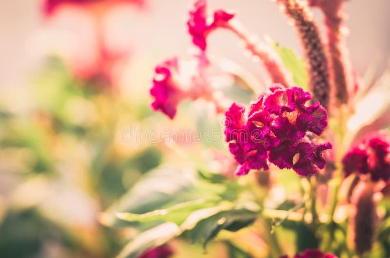 Celosia eller ull blommar eller tuppkamblommatappning royaltyfri fotografi