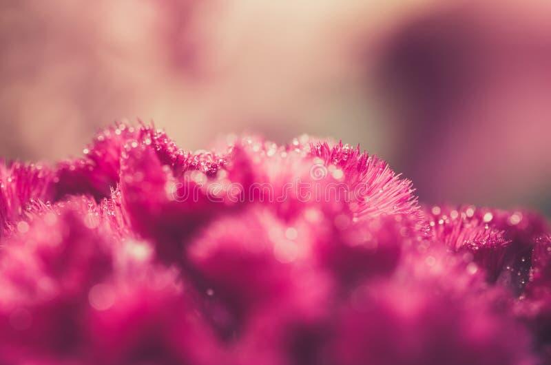 Celosia eller ull blommar eller tuppkamblommatappning arkivfoton