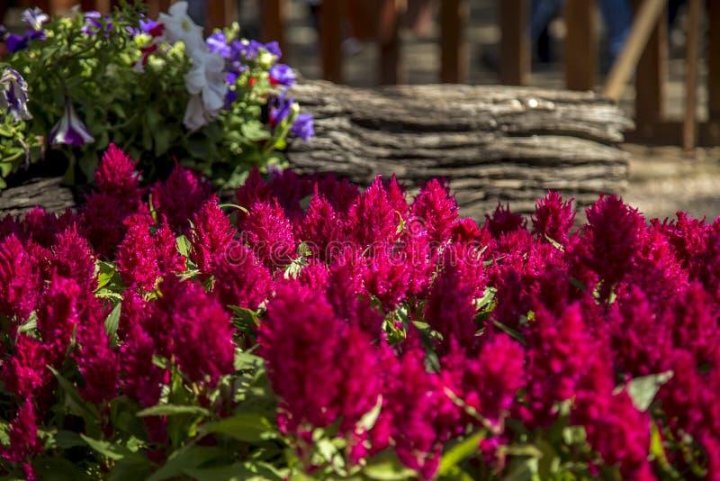 Celosia flower plant foliage. Cultive stock image