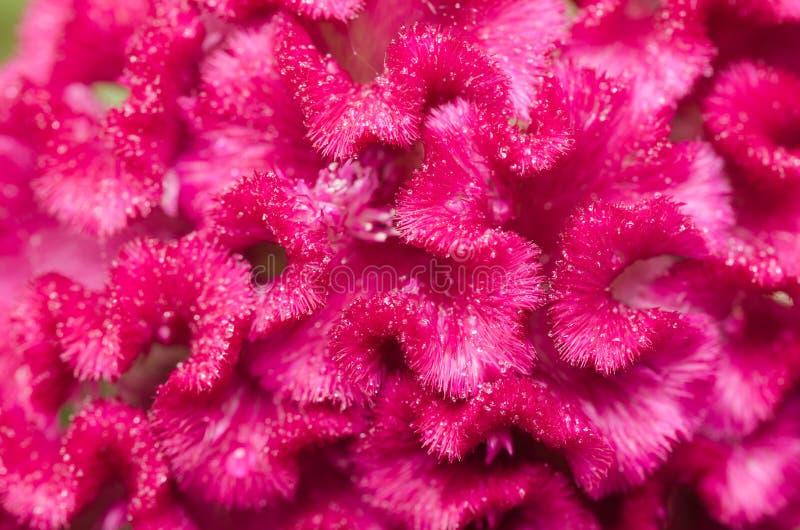 Celosia- oder Wollblumen oder Hahnenkammblume lizenzfreies stockfoto