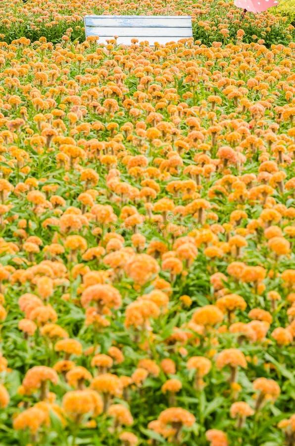 Celosia- oder Wollblumen oder Hahnenkammblume stockbild