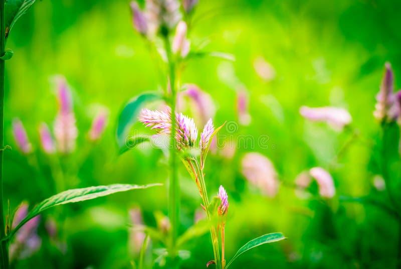 Celosia- oder Wollblumen oder Hahnenkammblume lizenzfreie stockfotografie