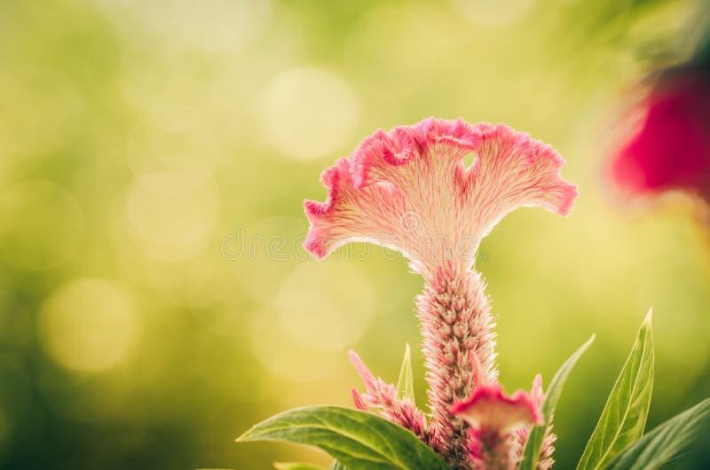Celosia- oder Wollblumen oder Hahnenkammblumenweinlese stockbild