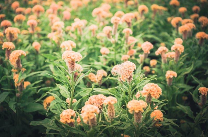 Celosia- oder Wollblumen oder Hahnenkammblumenweinlese lizenzfreie stockbilder