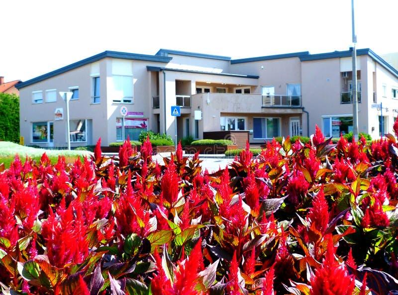 Celosia Plumosa Glorierijke Rode tuinbloem in parkplanter royalty-vrije stock foto's