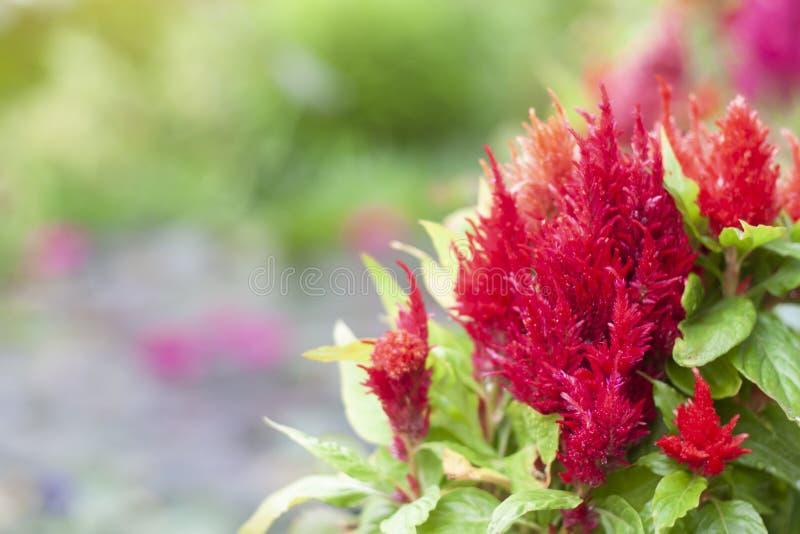 Celosia rosso Plumosa, serie del castello con spazio in giardino immagini stock libere da diritti