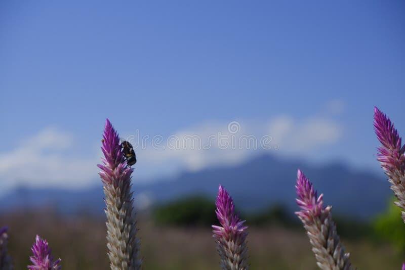 """Celosiacaracas-†""""die Hahnenkammblume in der Natur gegen Hintergrund des blauen Himmels stockbild"""