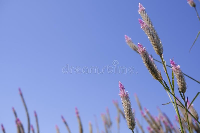 """Celozi Caracas †""""grzebionatka kwiat w naturze przeciw niebieskiego nieba tłu zdjęcia stock"""