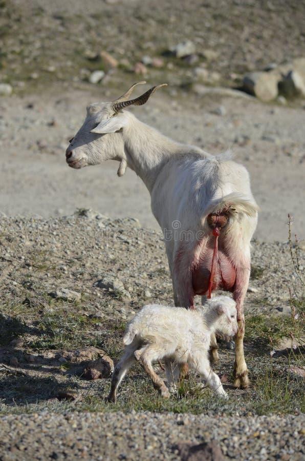 Download Celtiberian goat kid birth stock image. Image of sheep - 23773171