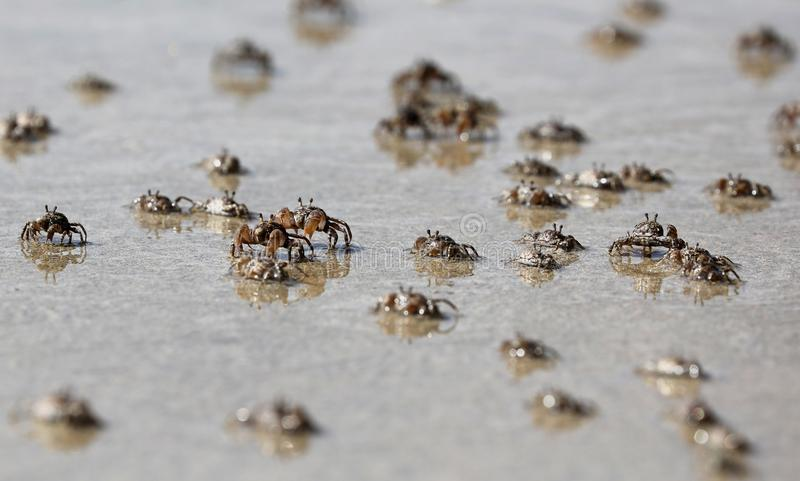 Cem do caranguejo do bebê na praia de Bali Indonésia durante o verão imagem de stock