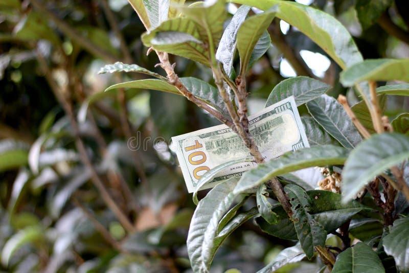 Cem notas de dólar na árvore fotografia de stock
