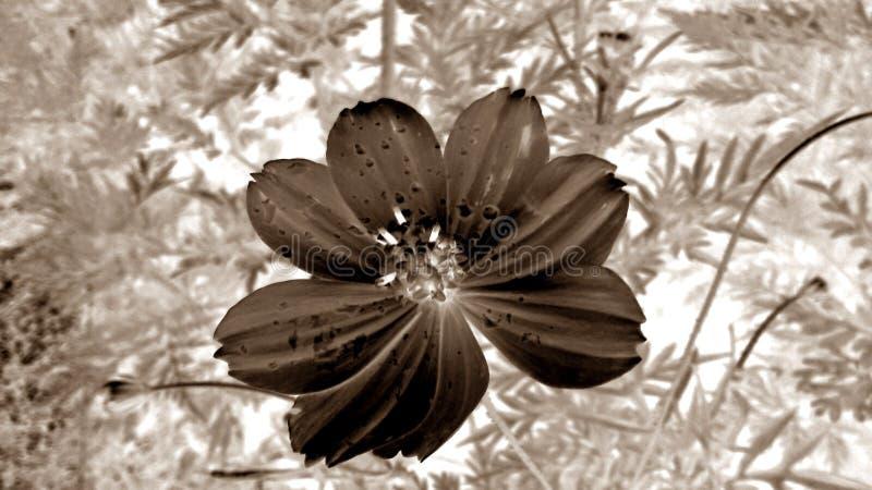 Cempasúchil flower B/W royalty free stock photo
