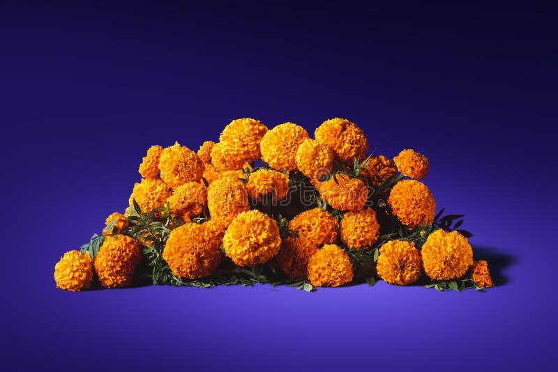 cempasuchil花在紫色背景的 免版税图库摄影