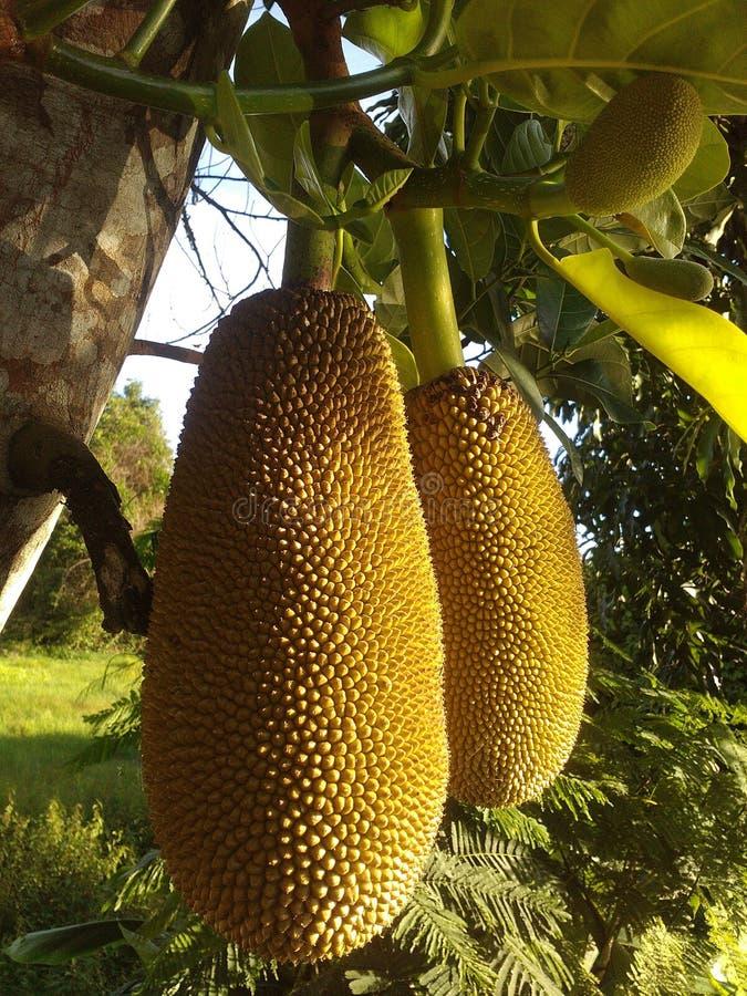 Cempedak, Jackfruit, Artocarpus, Artocarpus Odoratissimus royalty free stock images