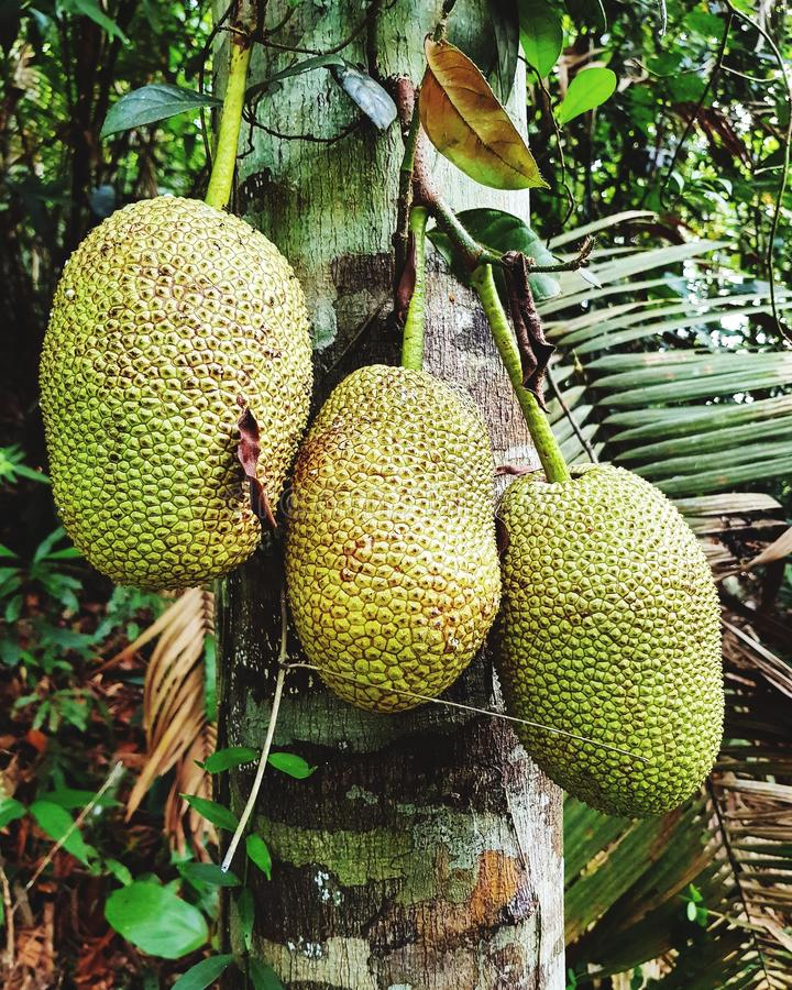 Cempedak tropisk frukt av ASEAN arkivfoton