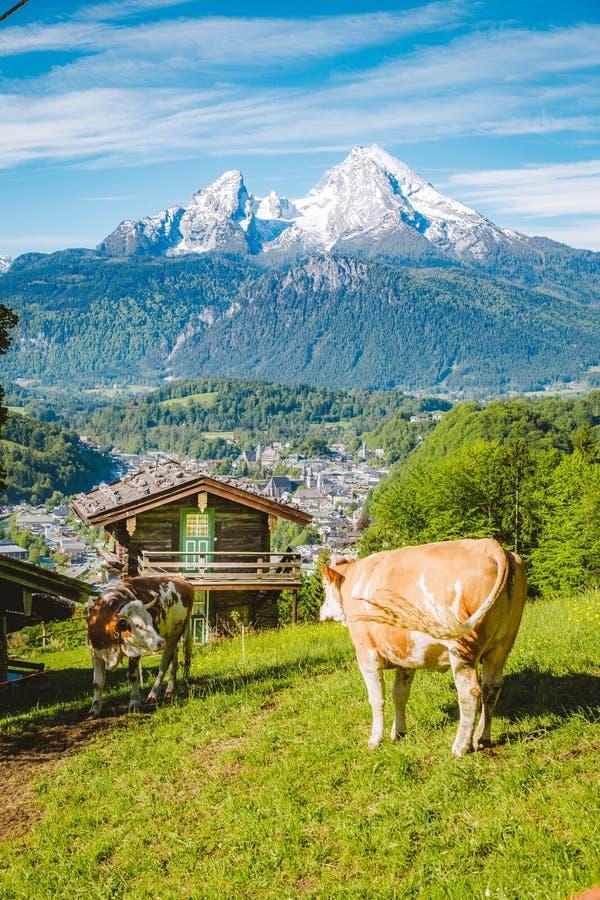 Cenário alpino idílico com chalés de montanha e vacas a pastar em prados verdes em primavera fotos de stock royalty free