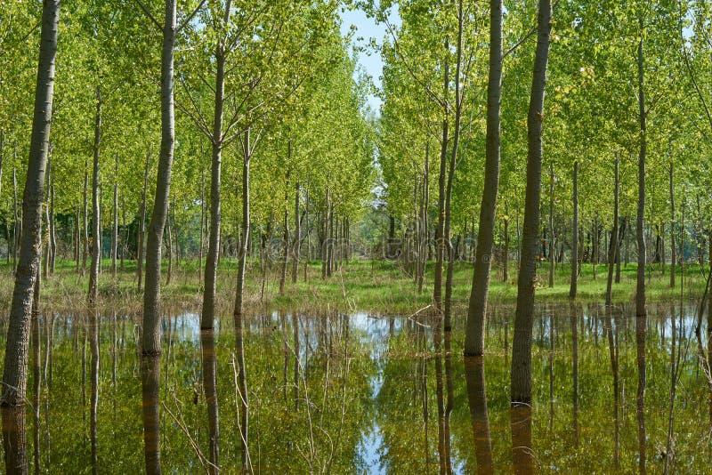 Cenário bonito com reflexão das árvores na água em uma área inundada em uma floresta fotografia de stock