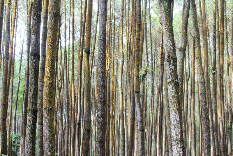 Cenário bonito da floresta do pinho foto de stock