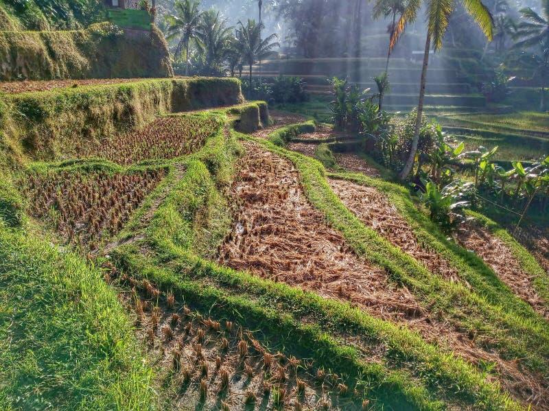Cenário bonito da manhã do terraço do arroz, Tegalalang, Ubud, Bali fotografia de stock