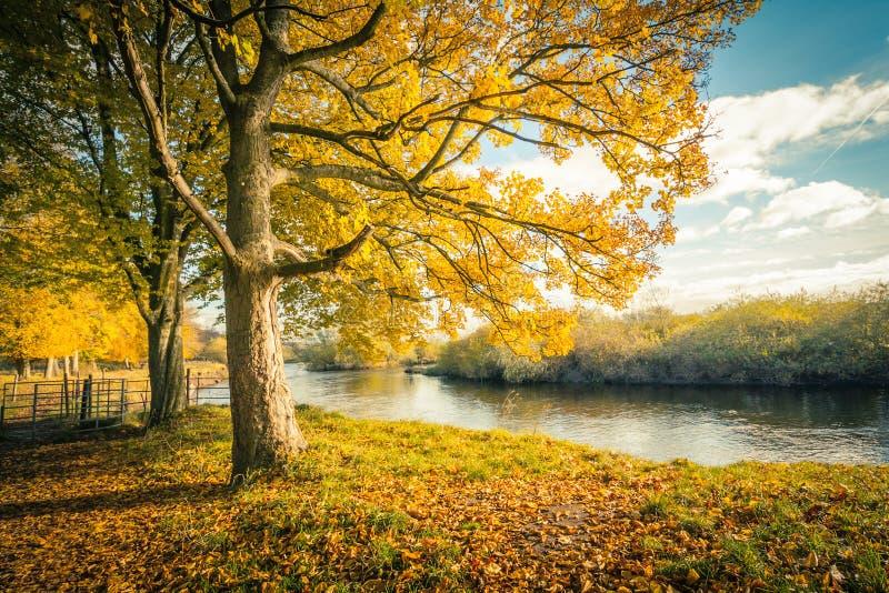 Cenário bonito, dourado do outono com árvores e folhas douradas na luz do sol em Escócia imagem de stock