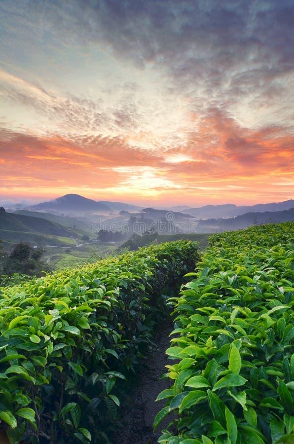 Cenário colorido do nascer do sol da plantação de chá de Sungai Palas, Cameron Highland, Malásia com ligh amarelo e vermelho mági imagem de stock royalty free