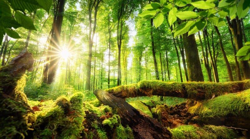 Cenário da floresta com raios bonitos do sol foto de stock royalty free