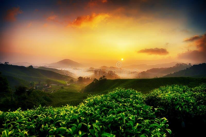 cenário da plantação de chá sobre o fundo do nascer do sol e o céu impressionante em Cameron Highland, Malásia imagem de stock royalty free