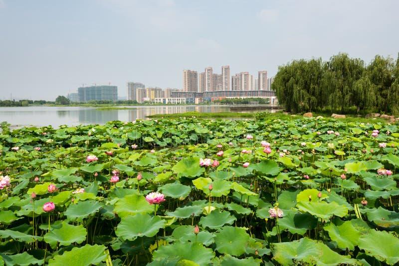 Cenário do parque do lago lotus fotografia de stock royalty free