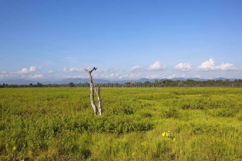 Cenário do parque nacional de Wasgamuwa com árvore inoperante fotos de stock royalty free